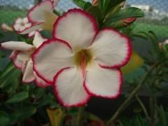 Adenium obesum flowers