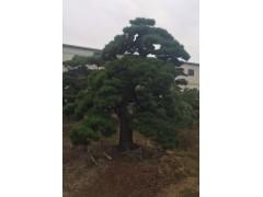 日本黑松庭园树
