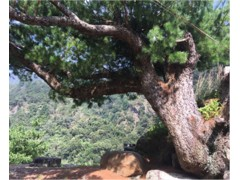 超大型台湾精品庭园型五叶松